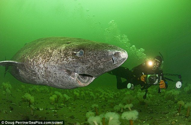 The Greenland Shark. They can grow to 23-feet long and have been known to attack bears and reindeers. Great, another nightmare sea monster come to life.