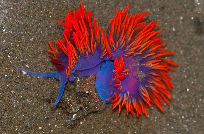 beautiful-unusual-sea-slugs-10__880 (700x460, 293Kb)