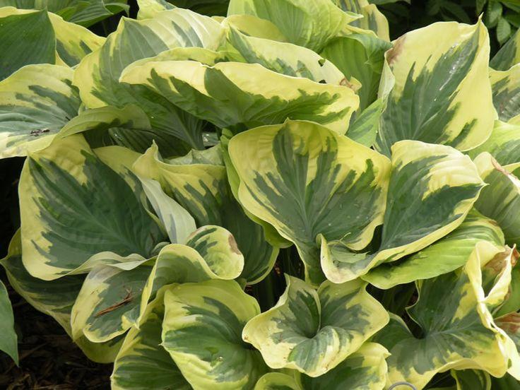 Hosta 39 Made From Scratch 39 Shade Gardening Pinterest Galleries