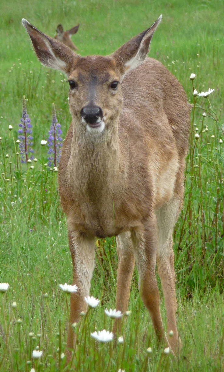 Sitka deer (Odocoileus hemionus sitkensis) is found coastally in British Columbia, Southeast Alaska and South central Alaska (as far as Kodiak Island).
