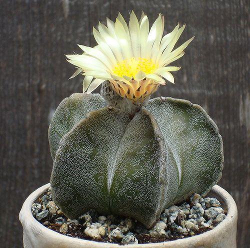 Astrophytum myriostigma   Flickr - Photo Sharing!