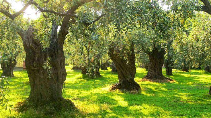 Gıda Tarım ve Hayvancılık Bakanlığı İzmir İl Müdürlüğü, Organik Tarımın Yaygınlaştırılması ve Kontrolü Projesi kapsamında Bayındır İlçesinde bulunan asırlık zeytin ağaçlarıyla dolu zeytinliklerde organik tarım yapılması için yürüttüğü çalışmaları tamamladı.