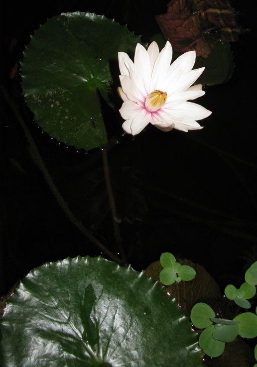 Tündér rózsa