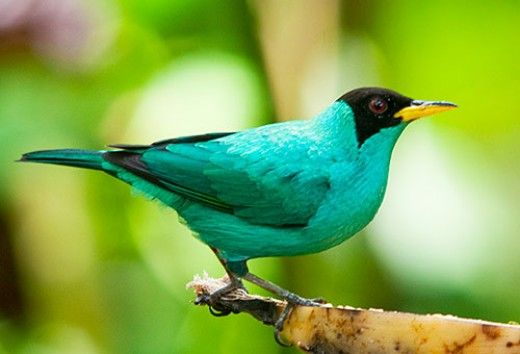 Green Honeycreeper - Male  The Honeycreeper is found in the foothills of the Andes Rainforest.