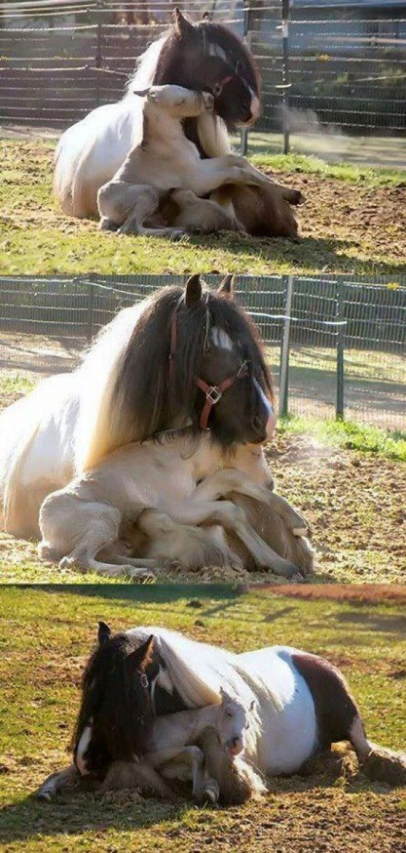 Baby Horse Cuddles Up In Mom's Lap | Cutest Paw