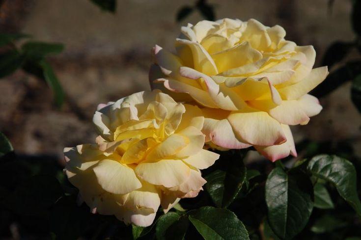 Pěstování a používání růží