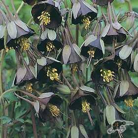 This unique aquilegia is 'really something else'!  Its yellow green claws grasp a deep purpley chocolate brown bonnet which is perfectly contrasted by bright ye...