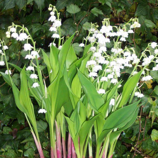 Convallaria Majalis Bordeaux Lilly Of The Valley Plants Shade Plants Shade Garden Design