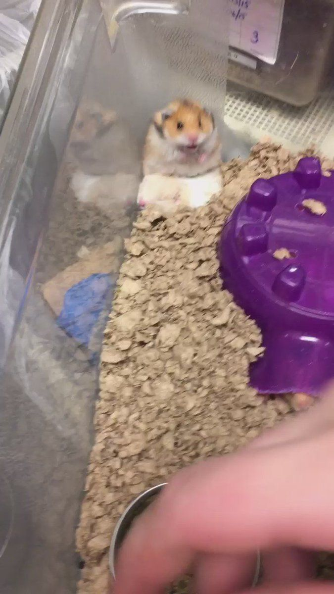 dae moved ! on Twitter Funny hamsters, Hamster pics