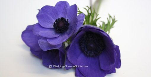 Blue Anemones     close up of anemones - one of the popular blue wedding flowers - for the boutiners