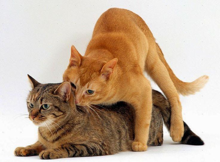 การผสมเท ยมในแมว Credit อาหารเสร มลดน ำหน ก การผสมเท ยมแมว Credit อาหาร เสร มลดน ำหน ก