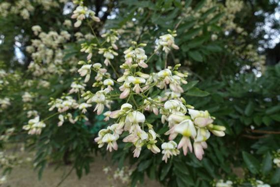 Sophora Japonica Pagoda Tree 20 Seeds Late Flowering Tree