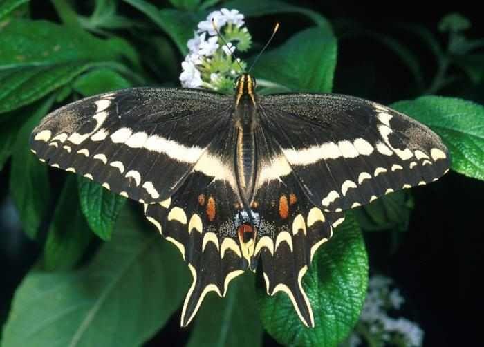 Mariposas  La Papilio aristodemus se encuentra al sur de Florida y tiene subespecies en Las Bahamas, La Isla de Santo Domingo y Cuba. Su nombre hace referencia a William Schaus, un famoso entomólogo Norteamericano.