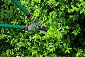 ligustr Przycinanie krzewów