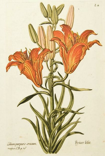 Botanical illustration of tiger lilies by Georg Wolfgang Knorr circa 1750-72