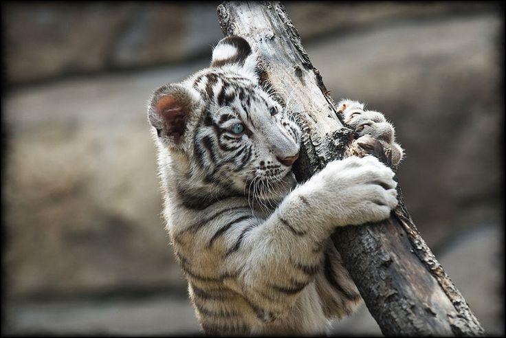 White Tiger (Panthera tigris tigris) - Animals - A-Z Animals ...