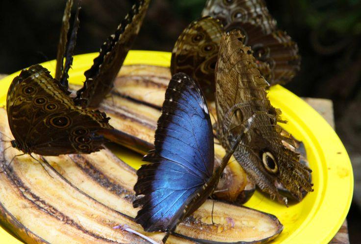 Butterflys feeding on bananas