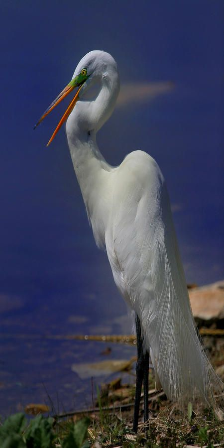 heron paper term white Sarah orne jewett's a white heron is a captivating short story which uses regionalism to illustrate the beauty and simplicity term papers research paper topics.