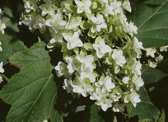 Dès que la floraison touche à sa fin il est temps de bouturer l'hortensia. Hubert le jardinier nous guide en image dans la bouture de l'hortensia à feuilles ...