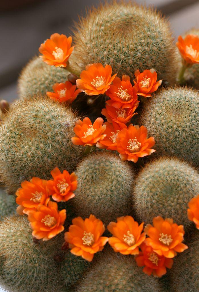 Cactus flowers (Rebutia fiebrigii var. densispina) | Huntington Botanical Gardens in San Marino, California