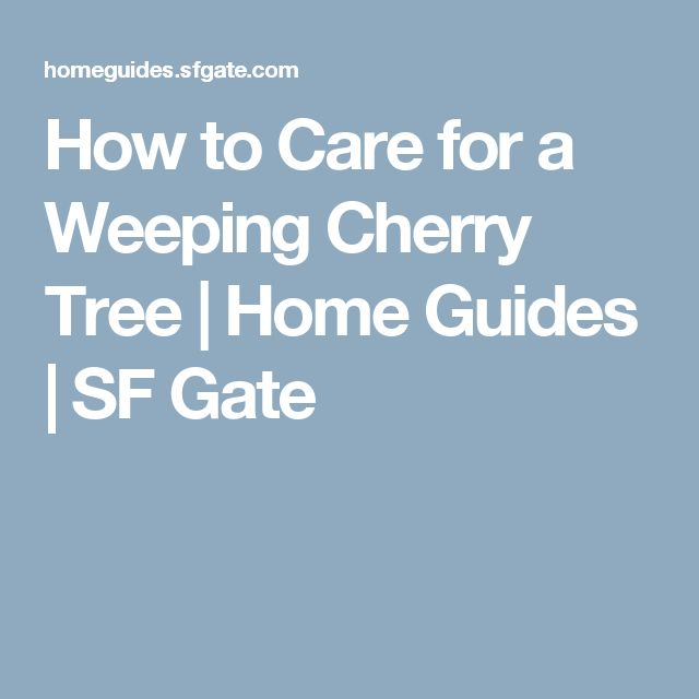 how to take care of a cherry tree