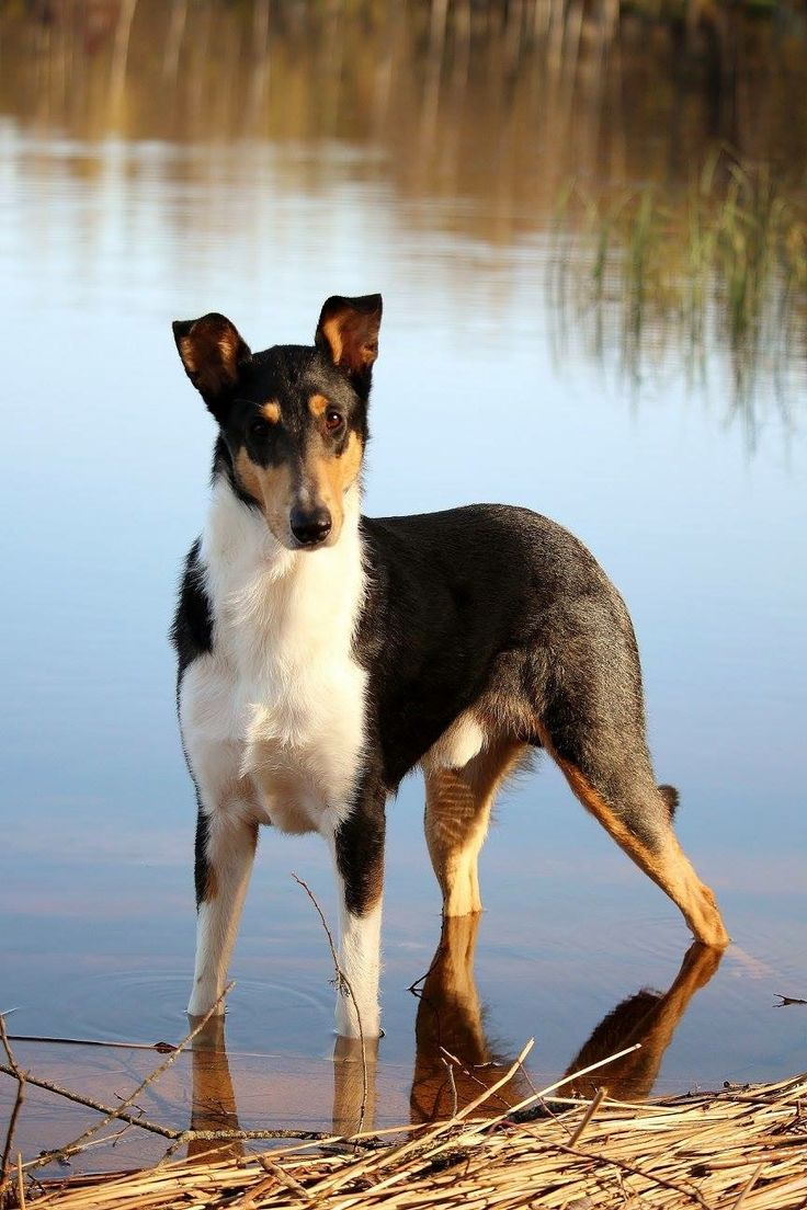 Smooth Collie > From Great Britain ..... Use today: Companion ..... Colour: Sable / white, blue - merle, tricolour