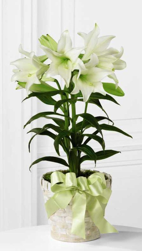 Your potted Easter lily plant isn't  just a decoration for Easter. Learn how to take care of your plant and how to transplant it outside to your garden when it is warm enough.