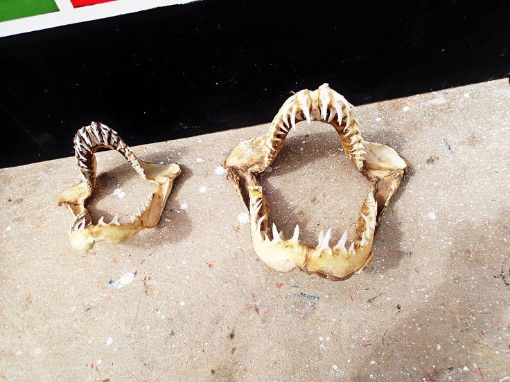 Nochmal zum Thema #Haie auf #BoaVista, hier in #SalRei entdeckt, ein spektakulärer Eindruck von dem Gebiss dieser Tiere und keine Folgekosten bei Zahnverlust, alles wächst kostengünstig nach, da kann man schon neidisch werden...wenn am hier die Preise für Zahnersatz bedenkt.