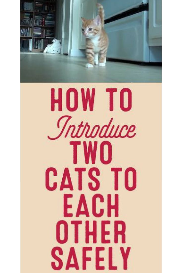 Image Result For How To Introduce Two Cats To Each Other Safely Open The Door To The Rooms Between The Cats And Ob Cat Behavior How To Introduce Cats Baby Cats