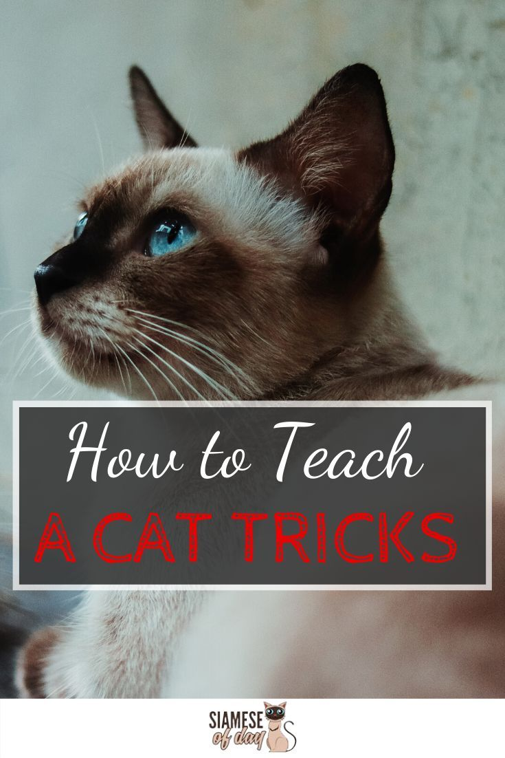 Tips Tricks How To Train A Siamese Cat Cat Hacks Siamese Cats Cat Training Tricks