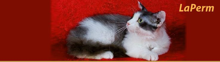This LaPerm breed started back in 1982 and this is one of the newer cat breeds out there. This was recognized by the Cat Fanciers' Association in 2008. LaPerm cats are very active but they are also content to be lap cats.
