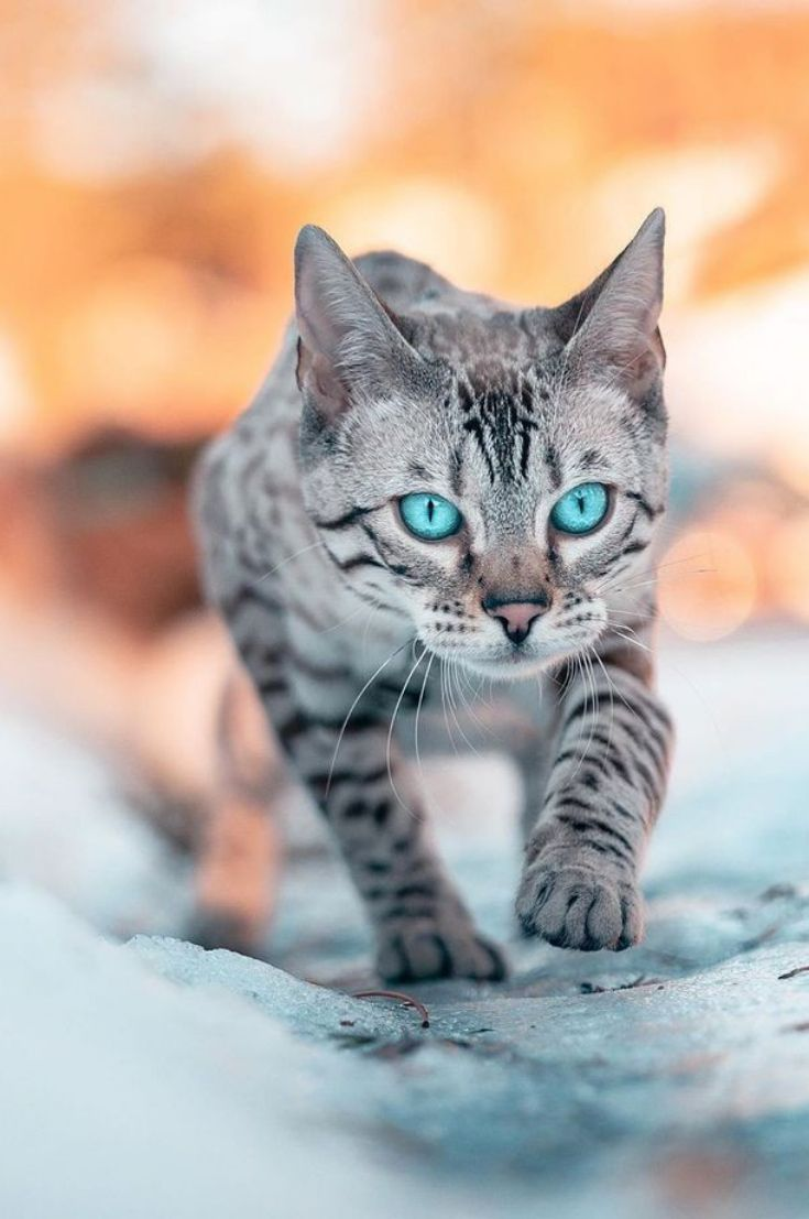 Cats Should Be Love And Protected Beautiful Cats Bengal Kitten Cat With Blue Eyes