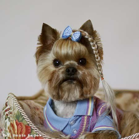 yorkshire terrier haircuts 190 best yorkie hairdo images on yorkies 1103 | dafa63c0221b2d87fafdb6fd81e5fe22 yorkshire terrier haircut yorkshire terriers