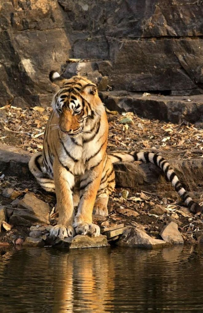 Machli,known as the Queen of Ranthambore, dies in 2016 aged 19. She was one of the world's most photographed tigers.Machli had distinctive fish-shaped markings on the left side of her face. India has more than half the world's tigers, at 2,226 in the latest estimate.