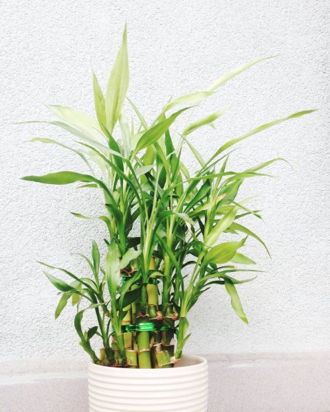 Best 25 lucky plant ideas on pinterest bamboo lucky for Indoor gardening meaning