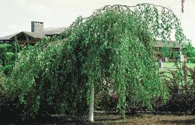 Image result for weeping australian native tree