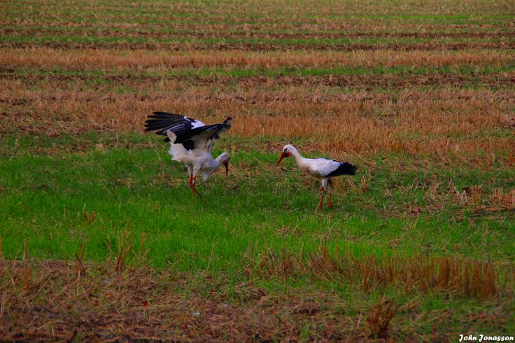 Storkar i Viby Storks in Viby