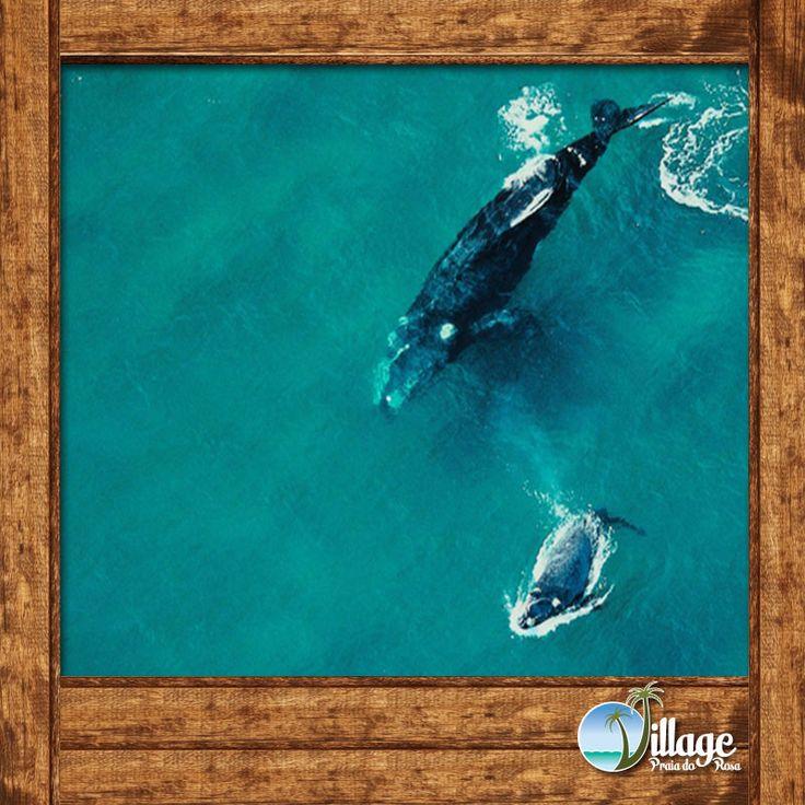 Baleia Franca e seu filhote