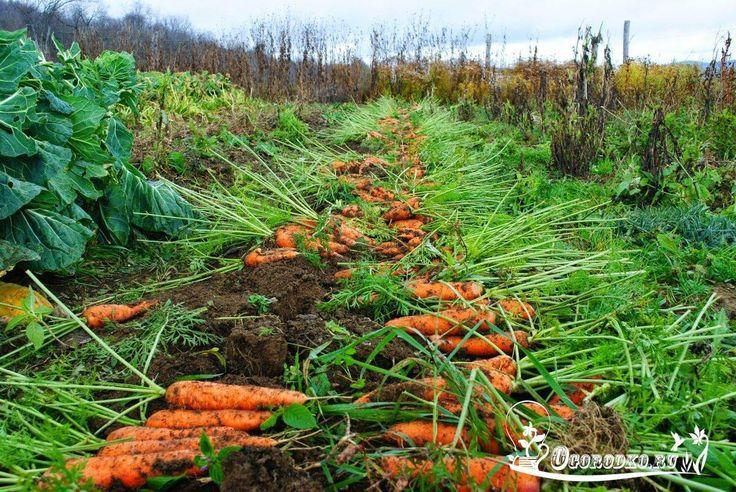 Морковные секреты в копилку садовода    Чтобы не привлечь морковную муху при прореживании моркови, возьмите взять 1 ведро воды и разведите в нем 1 столовую ложку красного или черного молотого перца (хватит на 10 кв.м). Настаивать не нужно, сразу обрызгивать морковь настоем перед прореживанием.    Если хотите получить урожай хорошей чистой моркови (без всякой гнили, заразы и т. д.) обязательно после второго прореживания полейте молодые растения следующим раствором: на 1 ведро воды 3г…