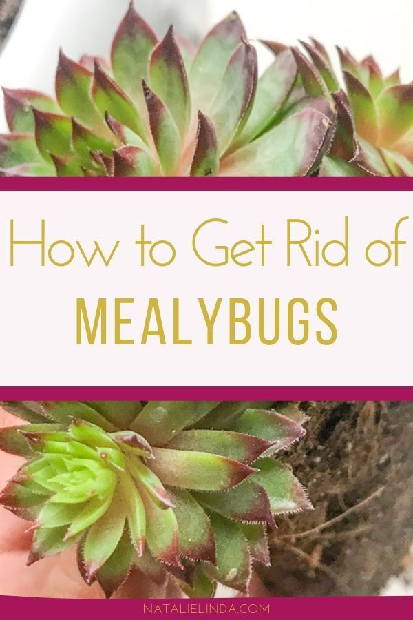 How to Easily Get Rid of Mealybugs on Your Succulents and Cacti  – Flower Garden Growing Tips