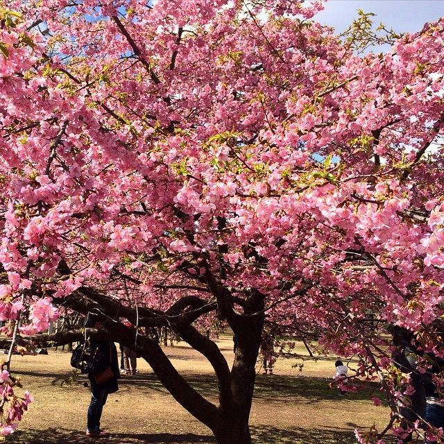 Planning A One Week Trip To Japan Here S What You Need To Do Japanese Cherry Blossom Cherry Blossom Japan