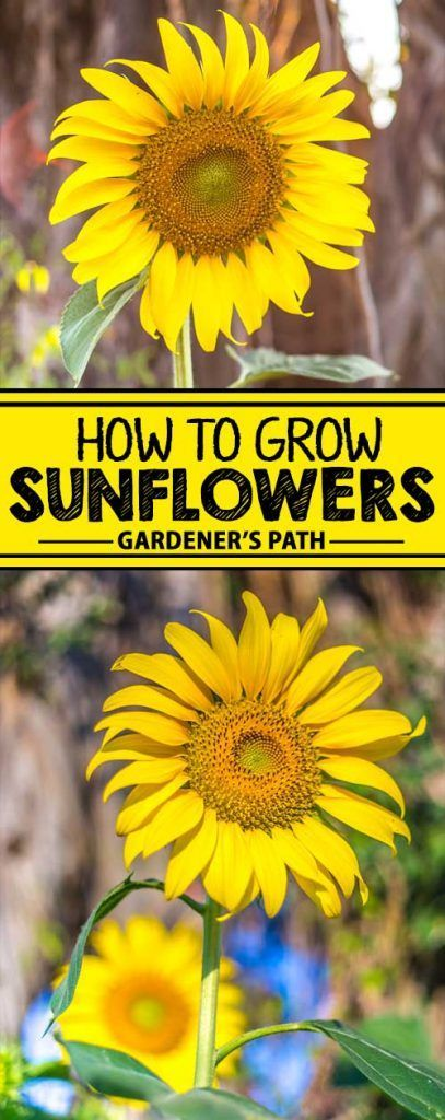 Sunflowers are popular amongst gardeners who enjoy seeing birds in their yards. Easy to start and easy to maintain, these beautiful annuals make an excellent choice even for the novice gardener. Want to grow your own in your backyard? Click now and learn how!