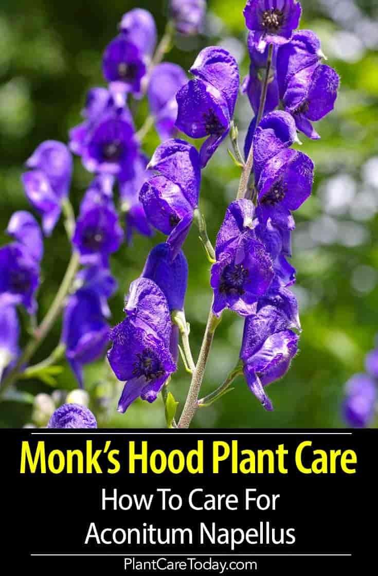 Aconitum Napellus Monk S Hood Plant Intriguing Flowers Slow Grower Long Lived Helmet Like Shaped Flowers Favors P Plants Plant Care Houseplant Plant Care