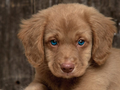 Cocker Spaniel Golden Retriever Mix Adorable Just Look At Its Eyes