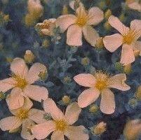 Hypericum olympicum (Hertshooi),   Een wintergroen, kleinblijvend vast plantje, goed voor aanplant tussen stenen en tegels. Hertshooi houdt van zon of halfschaduw en luchtige, doorlatende grond.  Hypericum olympicum heeft blauwgroen blad. De bloeikleur is geel, de bloeitijd juni-september. Hoogte: 30 cm.
