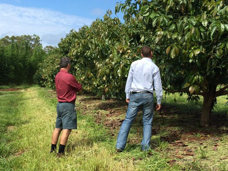 """Bundaberg #avocado crop looking great for 2015 harvest good crop on the way @GoodFruitandVeg @ABCRural"" Lachlan Donovan and Dan Cork"