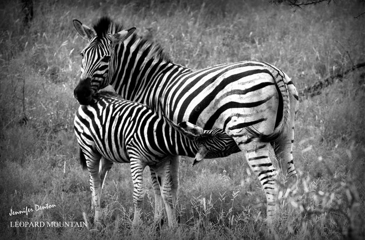 There is no friendship, no love, like that of a mother for her child. Thank you to all our wonderful mothers! #Zebra