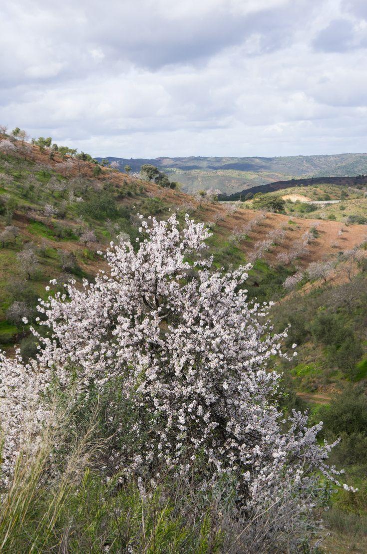 Rota das Amendoeiras em Flor, no Algarve!