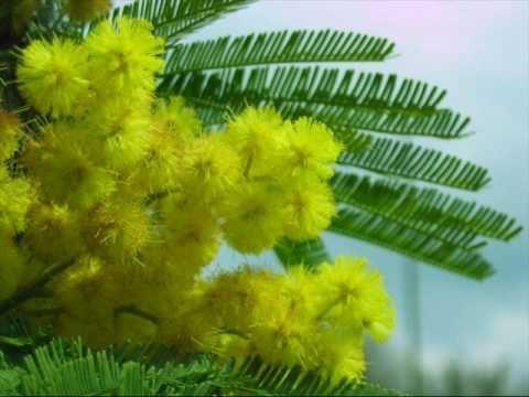 Ecco la storia della mimosa simbolo della festa della donna ma anche la pianta e…   IL MONDO DI ORSOSOGNANTE