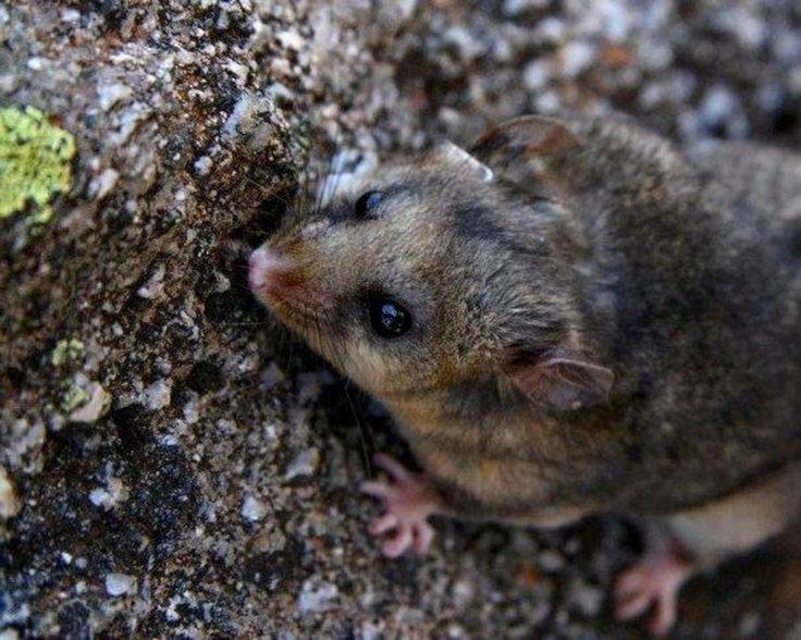 Australian endangered species: Mountain Pygmy-possum